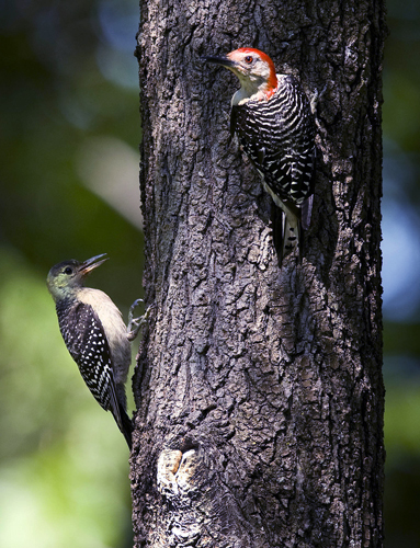 A Red-bellied Woodpecker with Juvenile