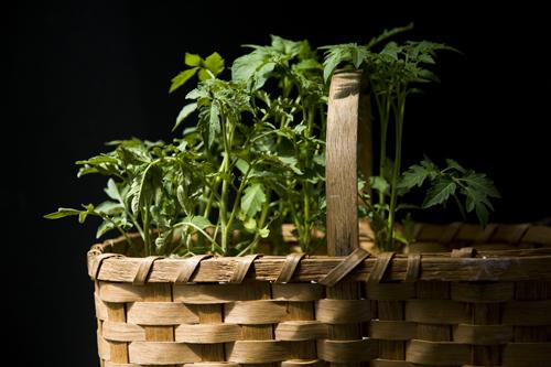 A Basket of Seedlings