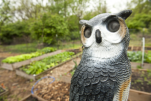A Plastic Owl Watches Over the Garden