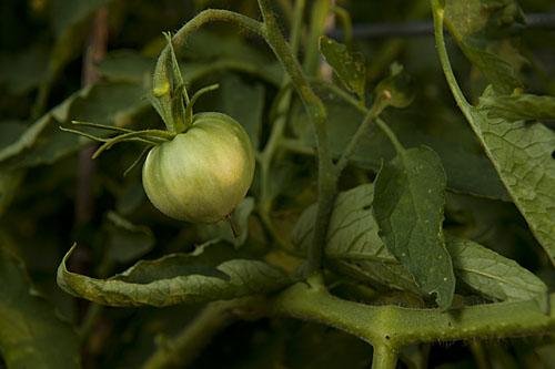 Tomato, green, Cour di bue, tasty, Tomatotown