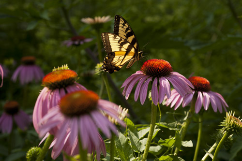 Eastern Tiger Swallowtail, Tomato town, nectar, midwest butterflies, butterfly