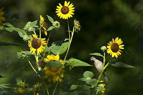 Sunflower, Tomatotown, Seeds