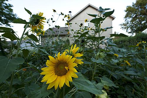Tomato, sunflowers, big, birds