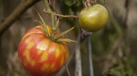 Cold-Mottled Tomatoes