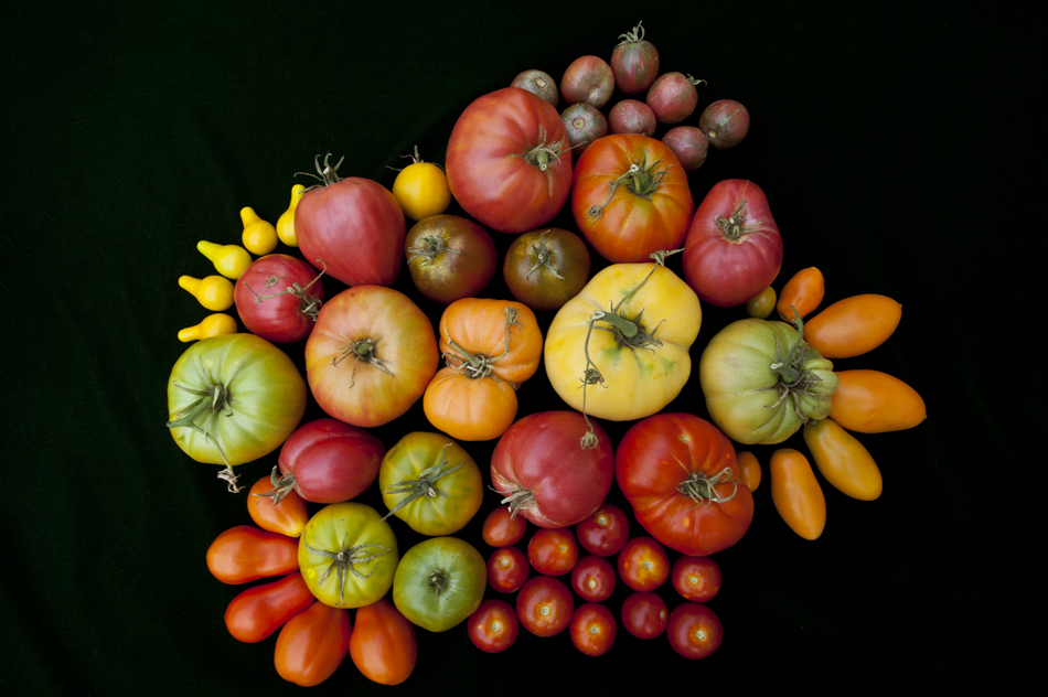 Tomato Town Organically Grows Heirloom Tomatoes In The