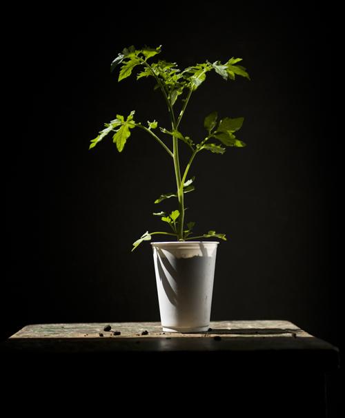 Seedlings ready for transplanting