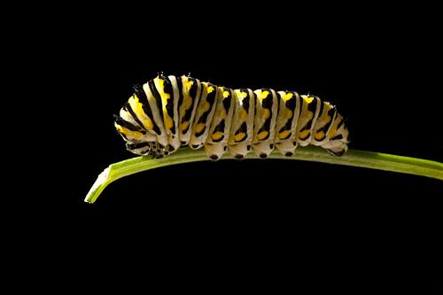 Caterpillar on Italian parsley