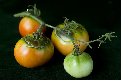 A work in progress from the 2010 Tomato Tasting