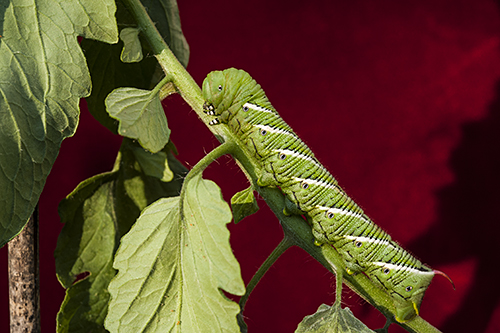 Tomato hornworm a.k.a. Manduca quinquemaculata