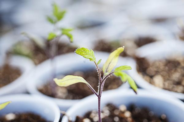 A diminutive tomato plant.
